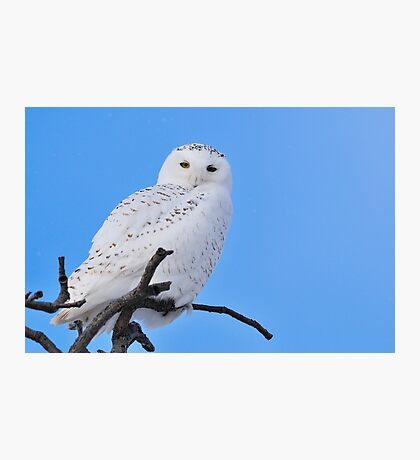 Snowy Owl in Tree Photographic Print
