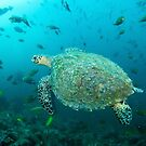 Turtle at fish rock cave by Stephen Colquitt