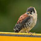 Common Kestrel - II (Falco tinnunculus) by Peter Wiggerman