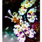 Harlequin shrimp by Kana Photography