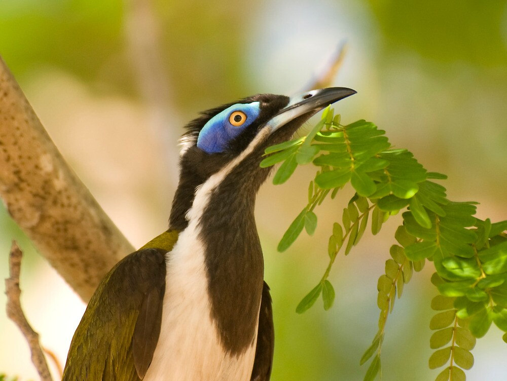Blue Faced Honeyeater by Jenny Dean