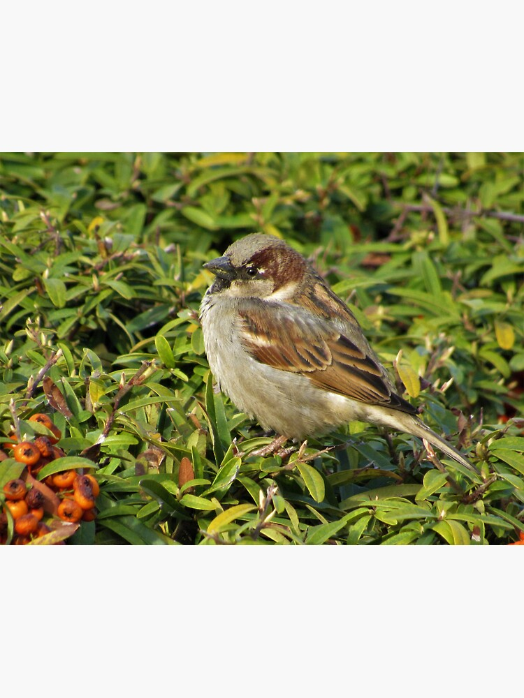 House Sparrow Sideview by tomeoftrovius