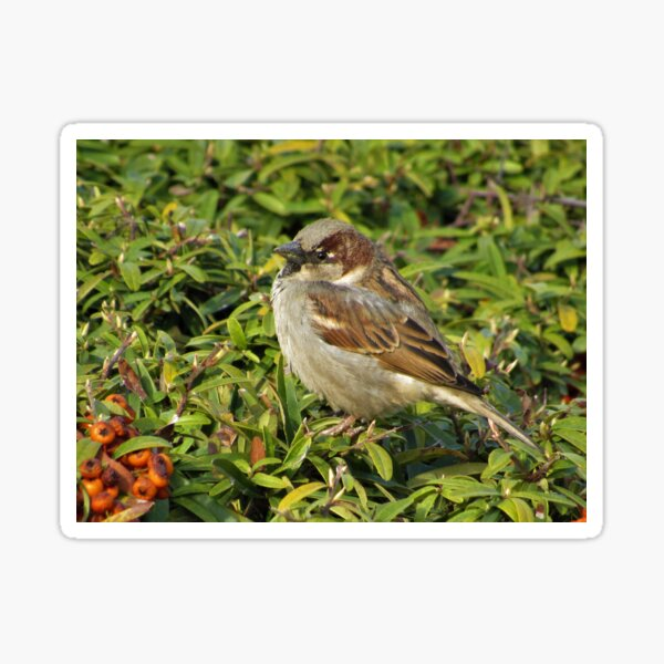 House Sparrow Sideview Sticker