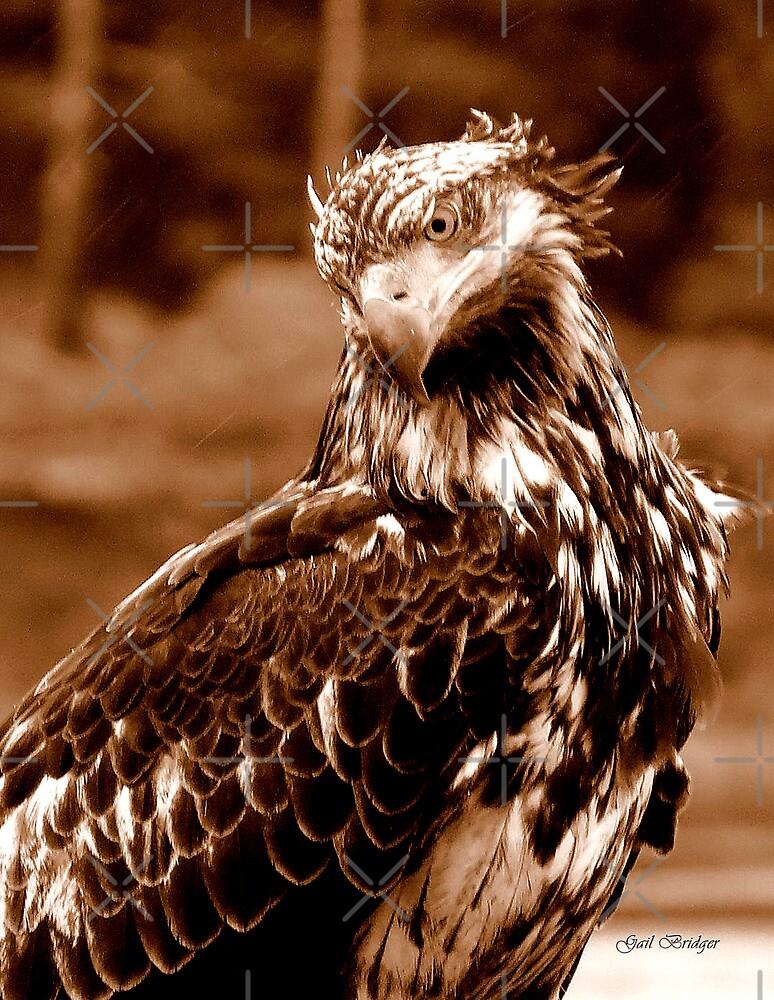 Young Bald Eagle by Gail Bridger