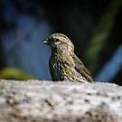 Juvenile Red Crossbill by DJ LeMay