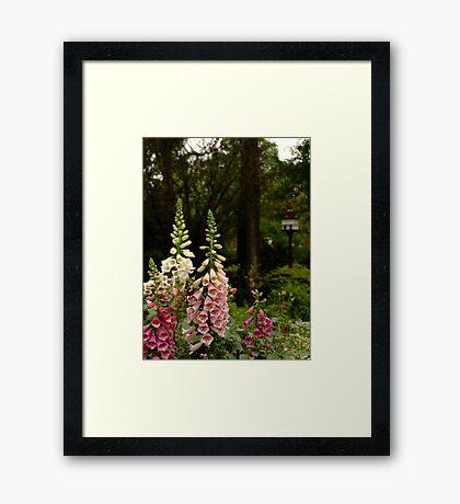 Foxgloves in Cottage Garden Framed Print
