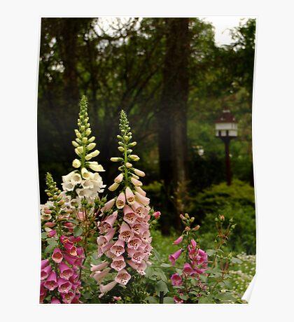 Foxgloves in Cottage Garden Poster