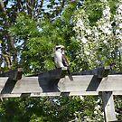 kookaburra resting by Jessica Hooper