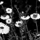 Everlasting Daisies  by Will Hore-Lacy