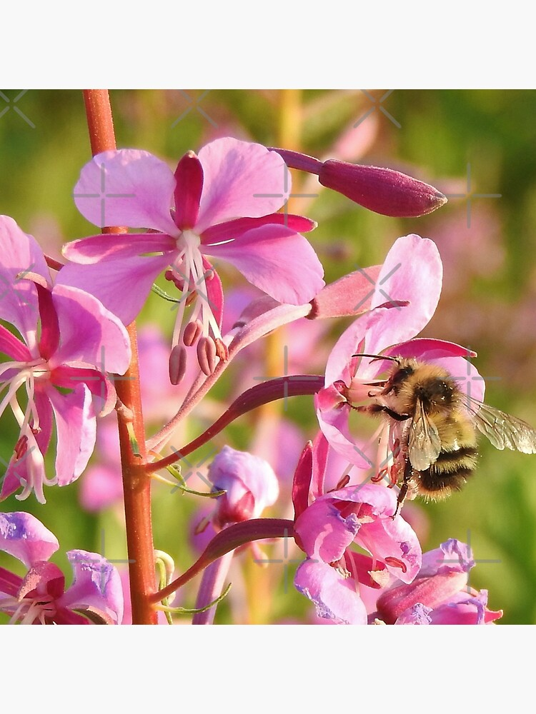 Bumblebee on Fireweed by MyWalledlife