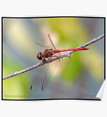 Autumn Meadowhawk... Poster