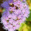 Puff  of Purple by Tracey Hampton