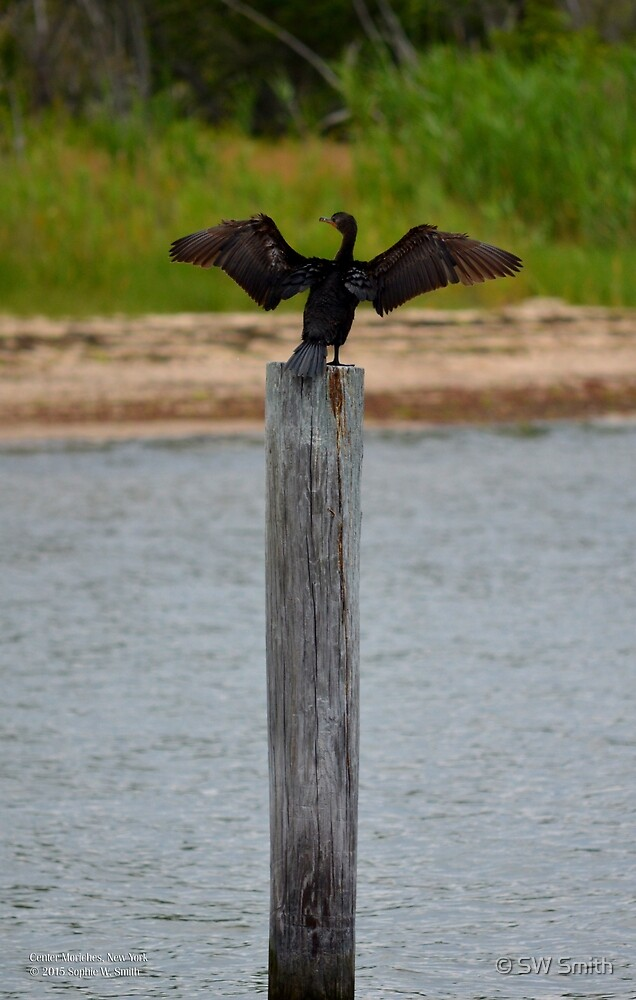 Phalacrocorax Auritus - Double-Crested Cormorant | Center Moriches, New York  by © Sophie W. Smith