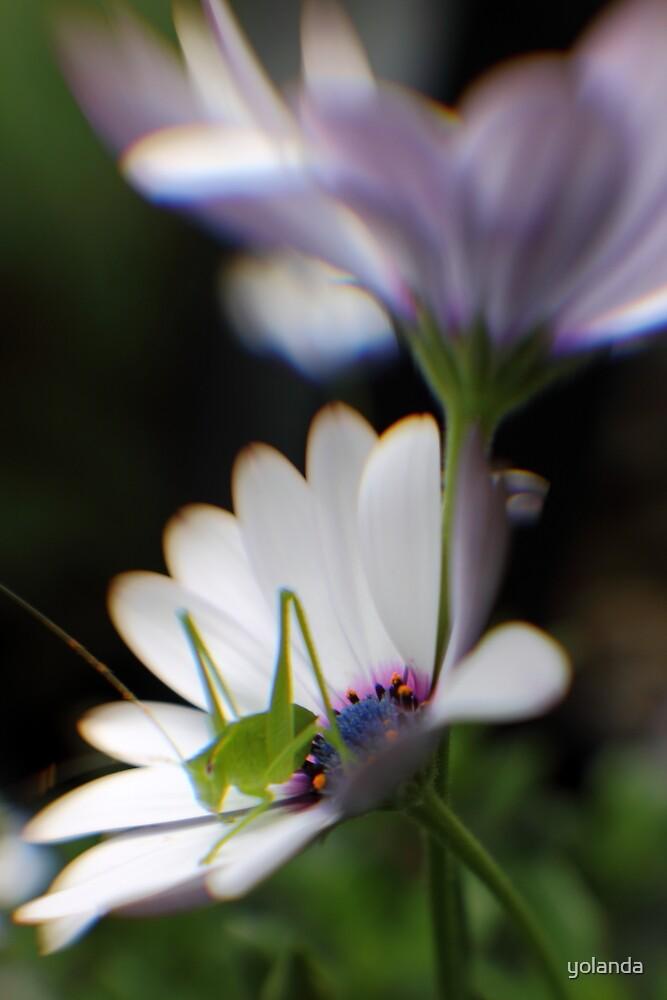 Grasshopper on White Daisy by yolanda