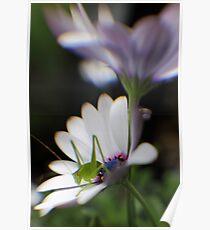 Grasshopper on White Daisy Poster