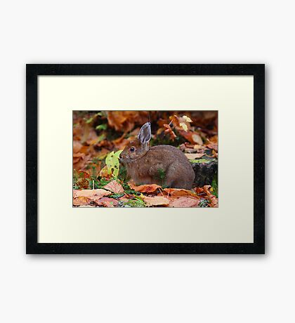 Snowshoe Hare in Autumn  Framed Print