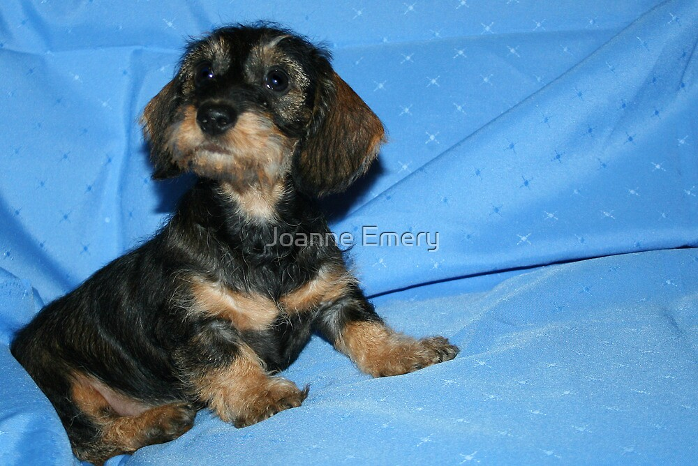Miniature Wire Haired Dachshund Puppy - \