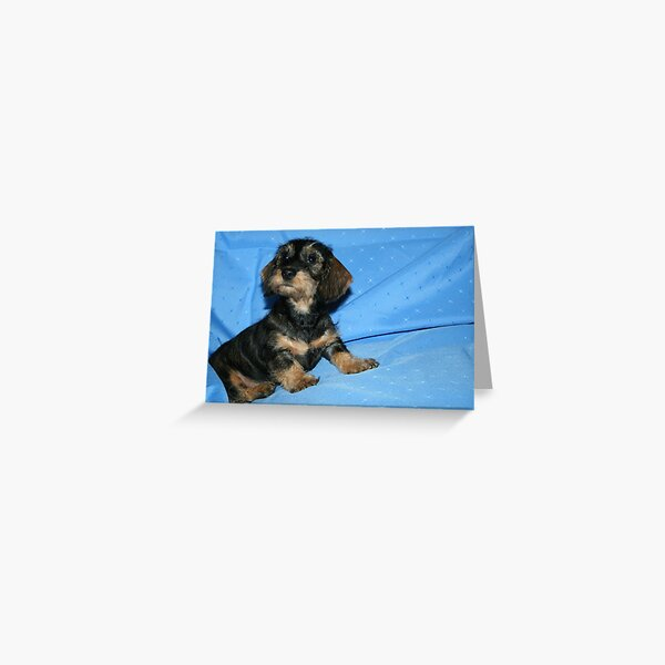 Miniature Wire Haired Dachshund Puppy -  Greeting Card