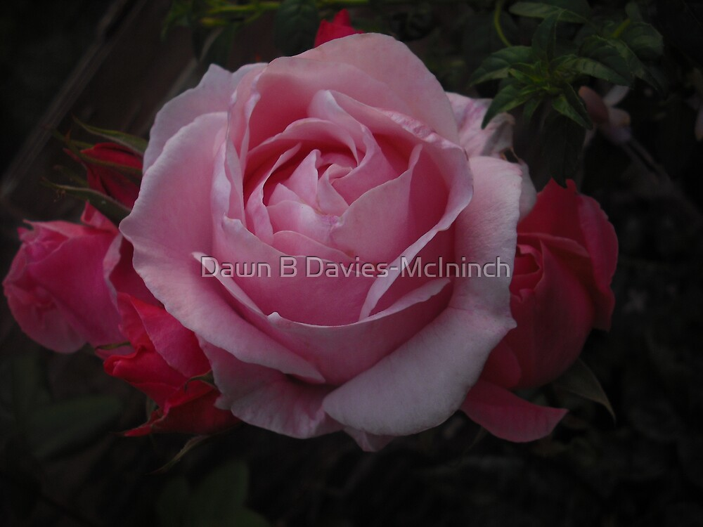 Beauty of Pinks by Dawn B Davies-McIninch