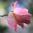 Sherbet rose by Antionette