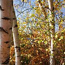 Fall Birches by William Sanford