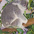 Koala, Queensland, Australia by Adrian Paul