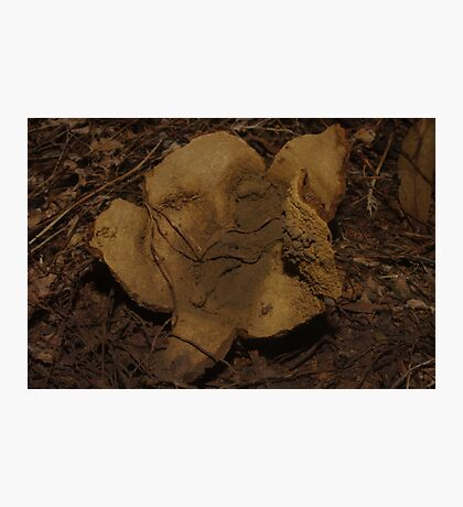 Old Man Puffball Photographic Print