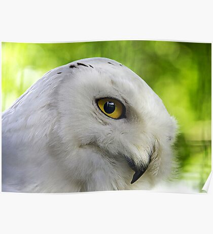 Snowy Owl (Bubo scandiacus) Poster