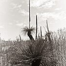 Grass Trees in Mono by pennyswork