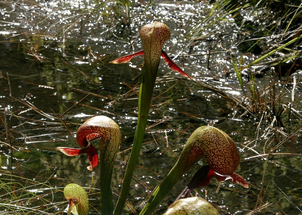 Cobra Lilies by Dave Davis