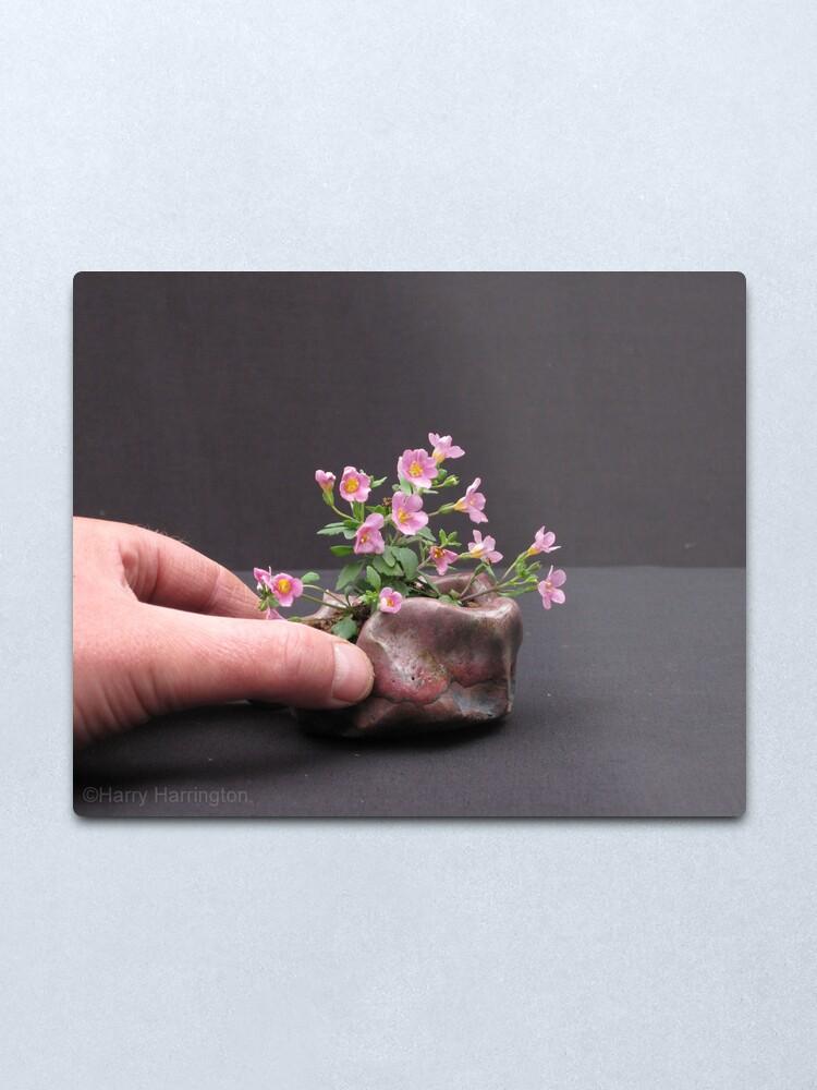 Sutera Cordata Pink Bacopa Hyssop Bonsai Accent Plant Metal Print By Harryharrington Redbubble