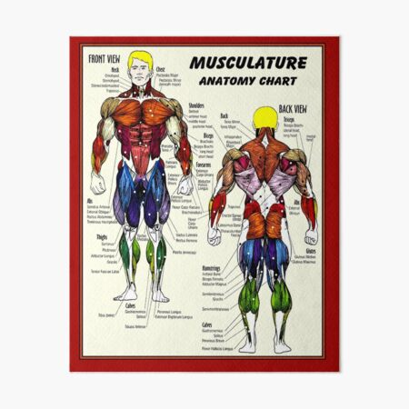 MUSCULATURE : Body Building Anatomy Chart Print Art Board Print