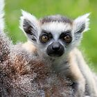Safe on Mothers Back - Young Ring-tailed Lemur by Jo Nijenhuis
