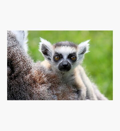 Safe on Mothers Back - Young Ring-tailed Lemur Photographic Print
