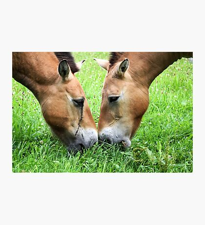 Nose to Nose - Przewalski's horse Photographic Print