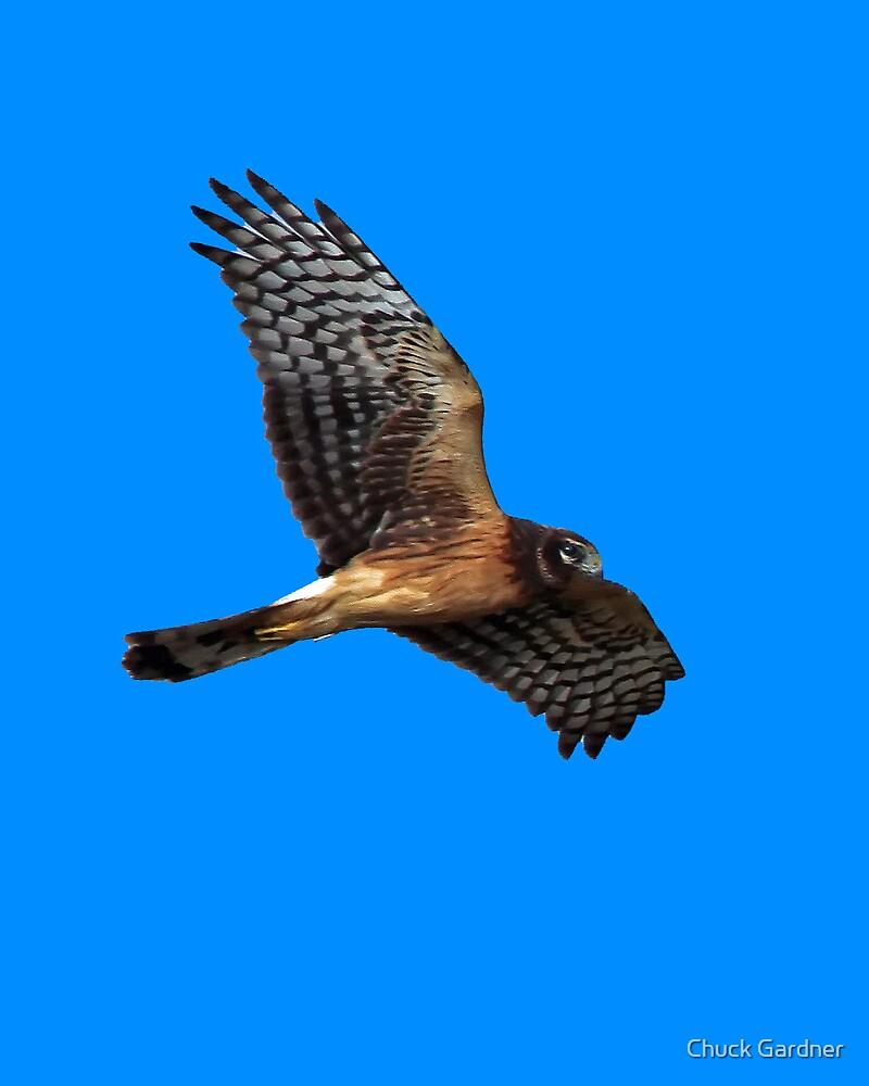 Northern Harrier ~ (Circus cyaneus) by Chuck Gardner