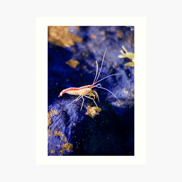 Northern cleaner shrimp - Blue Reef Aquarium Art Print