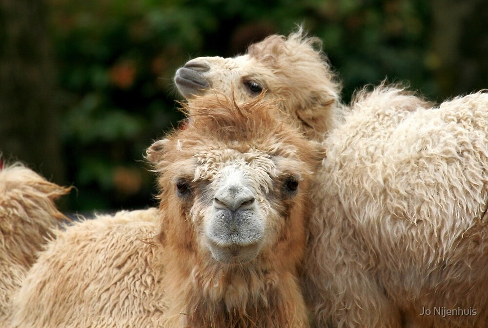 Love you Mom - Bactrian Camel with Baby by Jo Nijenhuis