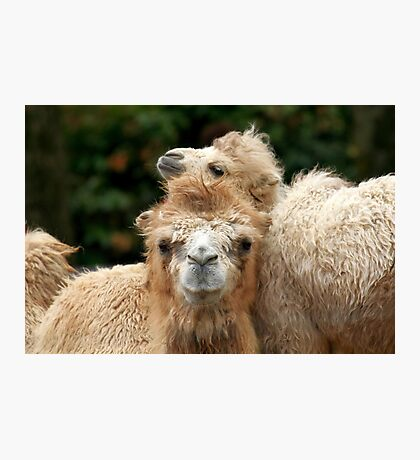 Love you Mom - Bactrian Camel with Baby Photographic Print
