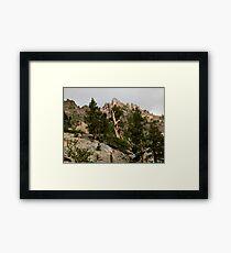 Cedar near Ebbets Pass Sierra Nevada California Framed Print