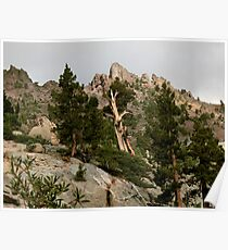 Cedar near Ebbets Pass Sierra Nevada California Poster