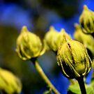 Flower Pods by Amit  Gairola