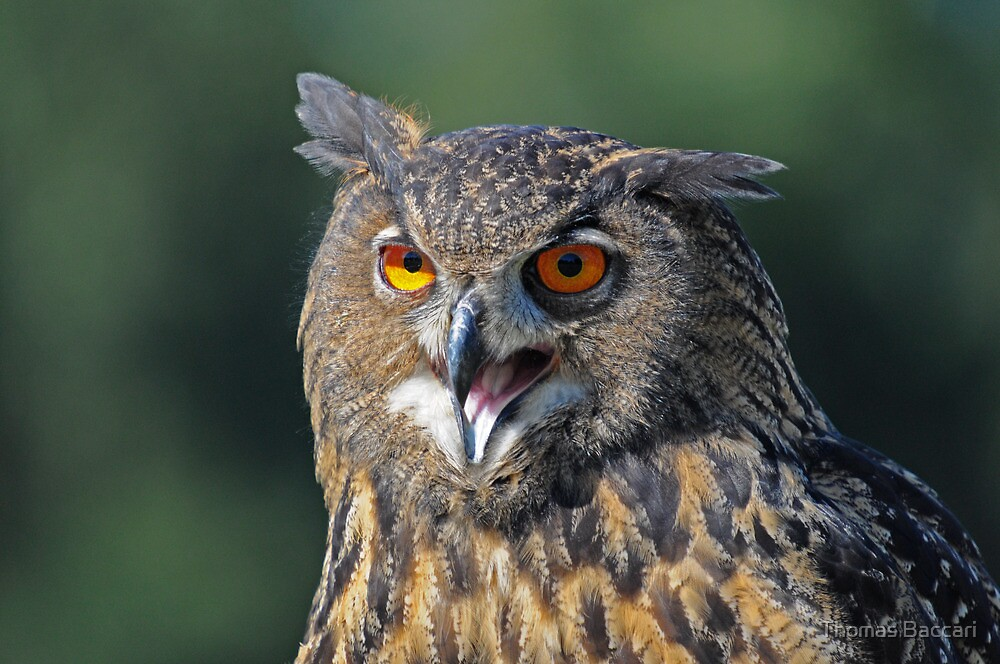 Eagle Owl by TJ Baccari Photography