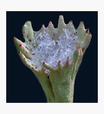 First snow in a lichen cup, here you are! Photographic Print