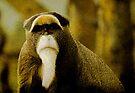 De Brazza's Monkey (Cercopithecus neglectus) by David Carton