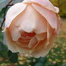 Fallen Peach by linmarie