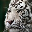 White Tiger by Peter Barrett