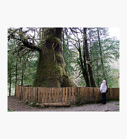 The Biggest Spruce Tree Photographic Print