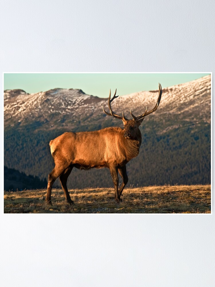 Alternate view of Bull Elk In The Colorado Tundra Poster
