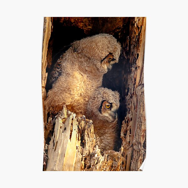 Great Horned Owl Baby Brothers Poster